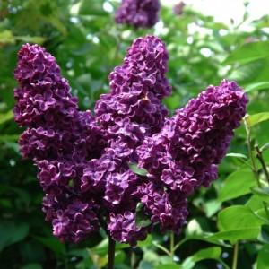 purple-lilac-500x500